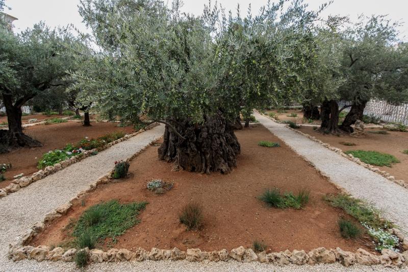 kostenloses foto alter olivenbaum im garten getsemani. Black Bedroom Furniture Sets. Home Design Ideas